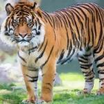 2010年属虎人2020年运势运程女孩 10年出生10岁生肖虎女佩戴什么吉祥物