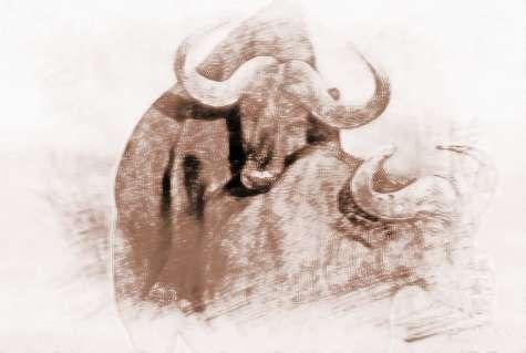 周公解梦梦见被牛斗