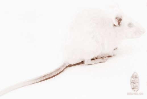 梦见老鼠尾巴