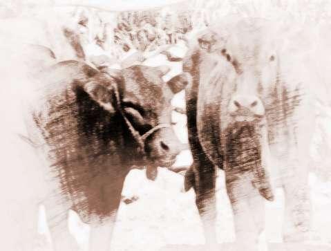 梦见牛丢失