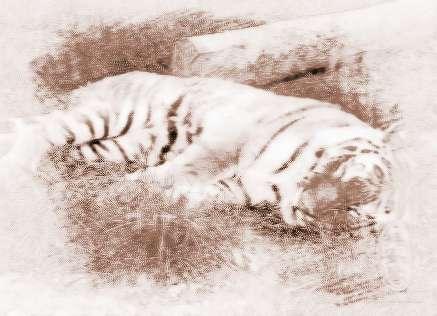 梦见老虎睡觉 周公解梦之梦到老虎睡觉