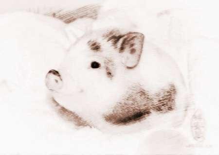 梦见宠物猪