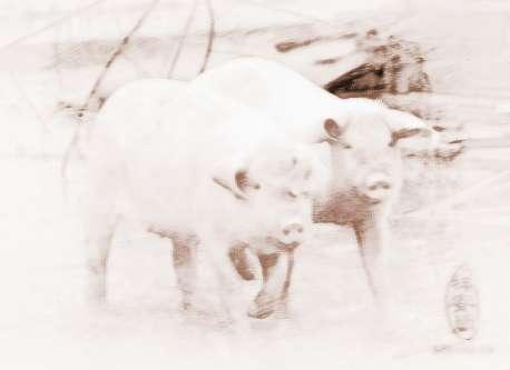 梦见两头猪 周公解梦之梦到两头猪