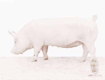 梦见小白猪生男生女