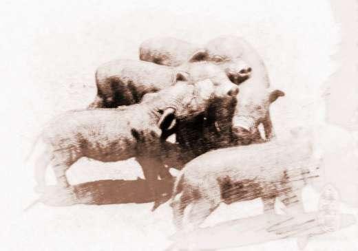 梦见一只小黑猪的吉凶:以坚志毅力,克服艰难,达成功扩展,身心皆健,若生辰之原命喜金水者,得此名获。但人、地两格其一是凶者,则虽也能成功发展于一时,但终因急变而逐渐的没落崩败或失和、孤立或遭遇危身灾险。【中吉】