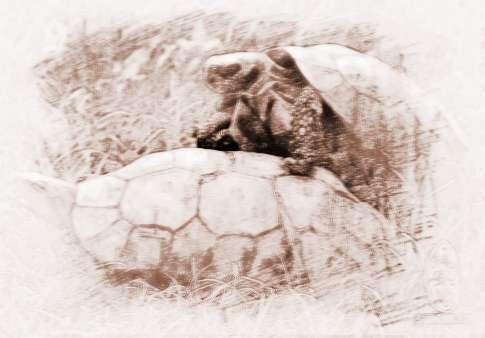 """周公解梦 动物 > 梦见乌龟交配        周公解梦关于""""乌龟交配""""的解释"""