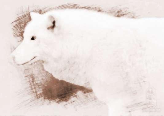 女人梦见一只白色的狼