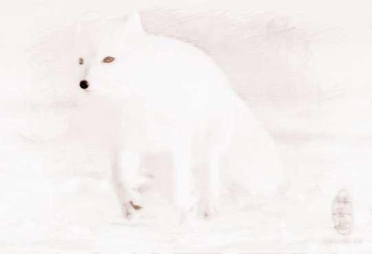 梦见小白狐狸 周公解梦之梦到小白狐狸