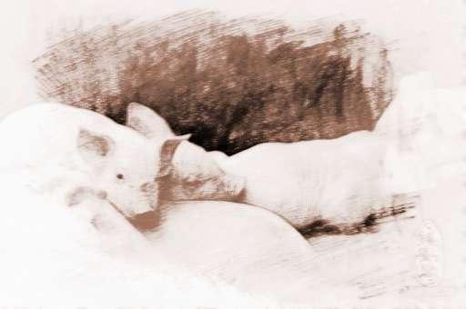 梦见跟猪睡在一起