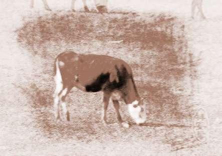梦见生小牛