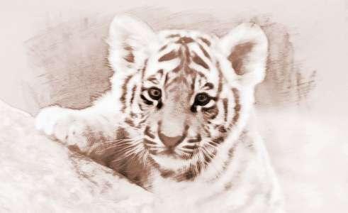 梦见老虎_梦见许多老虎 周公解梦之梦到许多老虎
