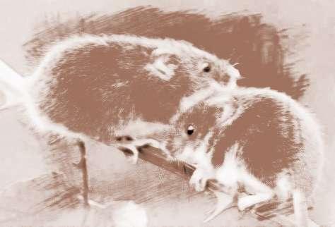 """祥安阁风水网 周公解梦 动物 > 梦见老鼠吃蛇   周公解梦关于""""老鼠吃"""