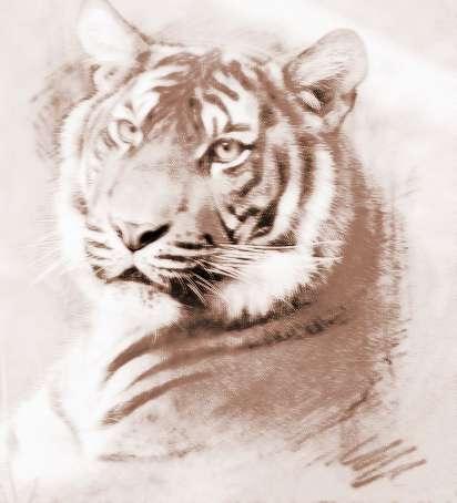 梦见老虎伤了