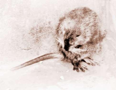 梦见老鼠死掉