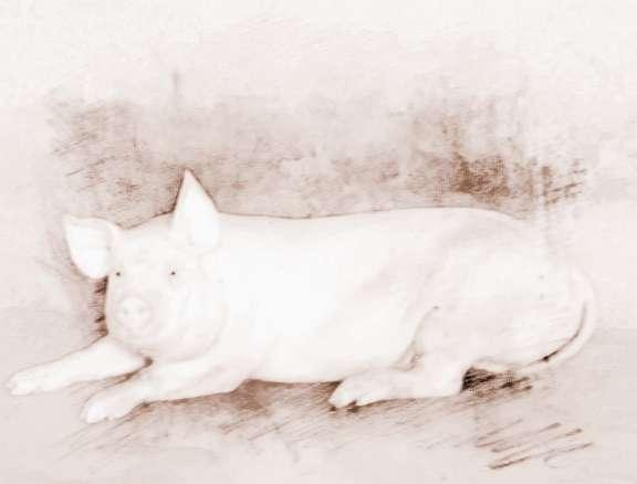 梦见杀死白猪