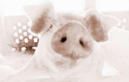 梦见猪鼻子猪嘴的周公解梦