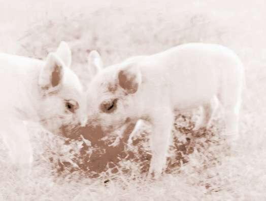 梦见两头白猪 周公解梦之梦到两头白猪