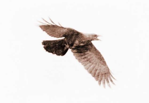梦见乌鸦画着圆圈飞翔