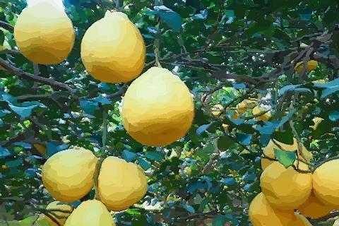 梦见柚子从树上掉下来