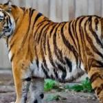 属虎的几时出生最好一生顺风顺水