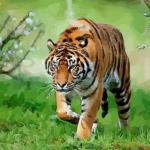 解析一下农历3月出生属虎人命好吗