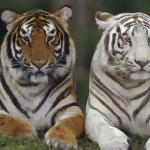 属虎的出生时辰与属相命运有什么关系
