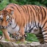 赶紧看生肖属虎的人都有什么性格特点呢