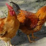 揭秘七月的鸡的命运如何