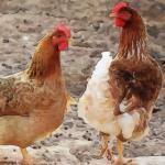 六月属鸡的命运怎样会不会一生倒霉