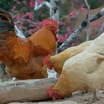 介绍一下属鸡农历六月份出生的命运如何