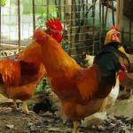 生肖鸡和哪些生肖较为有缘感情好