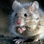 性格分析生肖鼠的特点怎么样