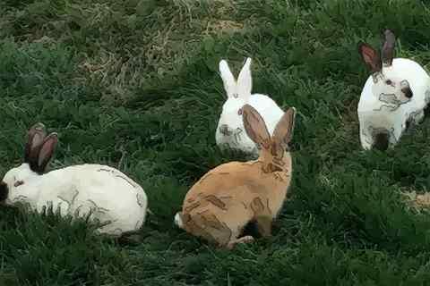 1987年出生的属兔人一生的命运 87年属兔人命运好不好
