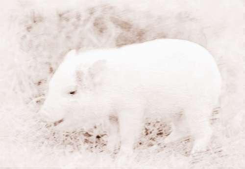 属猪的人几月份出生能够拥有好的运势?