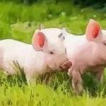 解读农历8月出生属猪人命好吗