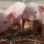 属猪的人命运好不好性格怎么样