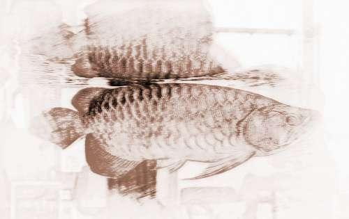 家中养殖红龙鱼需要注意鱼缸的摆放位置