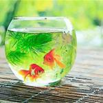 在家中养鱼要注意哪些风水讲究