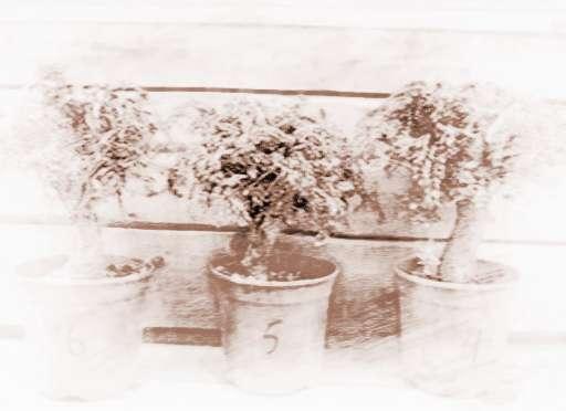 树桩盆景的修剪与养护
