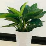 大叶植物风水有何作用