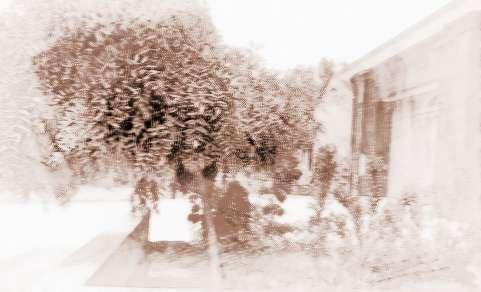 房前种这些树可以让房子风水更好!