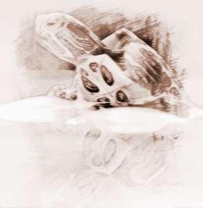 梦见两只大乌龟