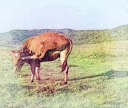 做梦牛 做梦梦到牛是什么意思