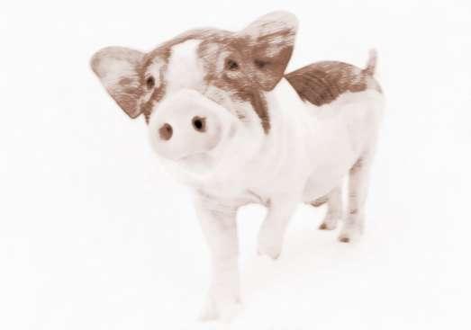 周公解梦梦见猪