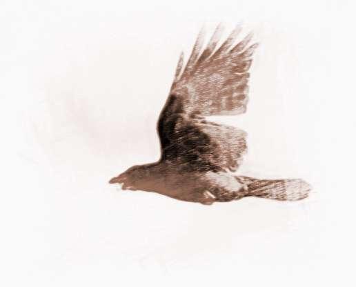 梦见捕捉乌鸦