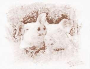 属猪命相是怎样的