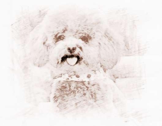 可爱的宠物贵宾犬名字大全
