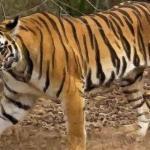 属虎的人今年多大了2021 2021年属虎人几岁了