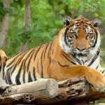 虎年出生的人的命运好吗 属虎的人命运怎么样