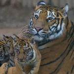 属虎的今年多大2021 属虎人2021年几岁